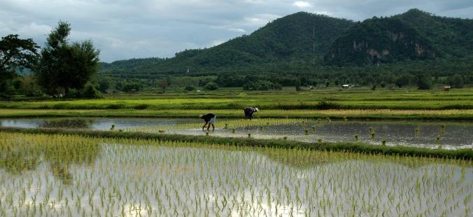 transplanting-rice-983760_1280